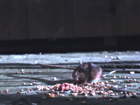 Wood Mouse Slow Motion