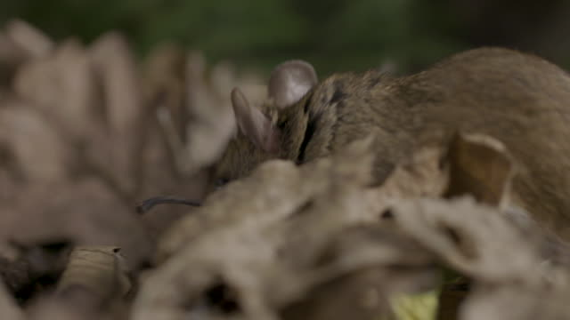 wood mouse (apodemus sylvaticus) walking over leaf litter, woodlands - woodland stock videos & royalty-free footage