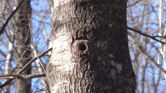 wood nuthatch (sitta europaea) in woodland, belarus - tree trunk stock videos & royalty-free footage