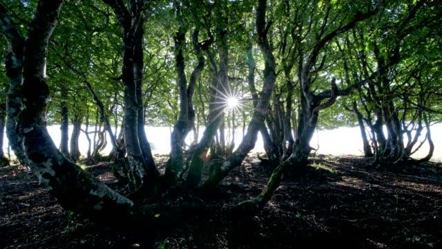 vidéos et rushes de wood pasture forest in the morning with sun, metzeral, vosges, haut rhin, france - tronc d'arbre