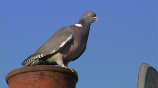 Image result for pigeons on chimney pots