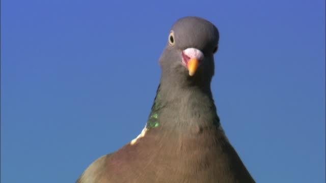 Wood pigeon (Columba palumbus) on chimney pot, Scotland, UK