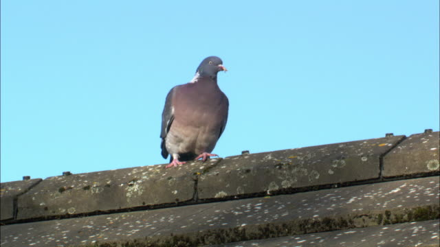 Wood pigeon (Columba palumbus) takes off from roof, Scotland, UK