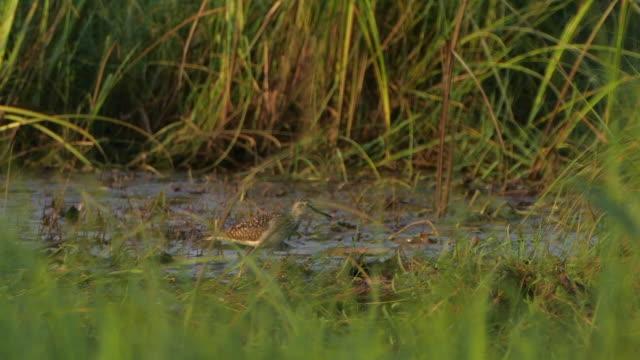 ウッドサンドパイパー(トリンガグラレオラ) - ヒンガン自然保護区 - クサシギ属点の映像素材/bロール