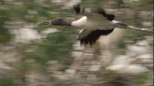 a wood stork carries a twig to its nest. available in hd. - twig stock videos & royalty-free footage