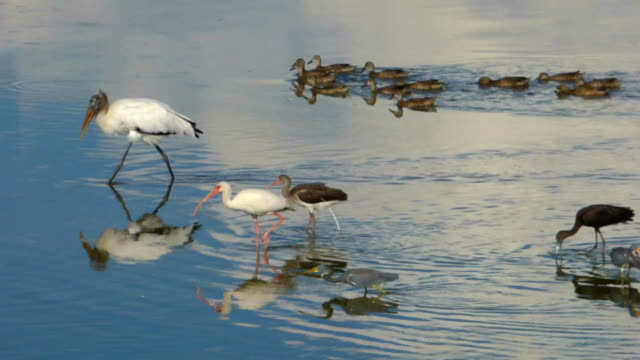 wood stork leading a parade of feeding birds - beak stock videos & royalty-free footage