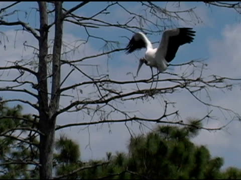 wood stork standing in a tree gathering twigs - spread wings stock videos & royalty-free footage