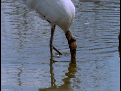 wood storks feed in the everglades. - 動物の口点の映像素材/bロール