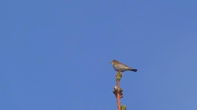 wood warbler bird singing on treetop - warbler stock videos & royalty-free footage