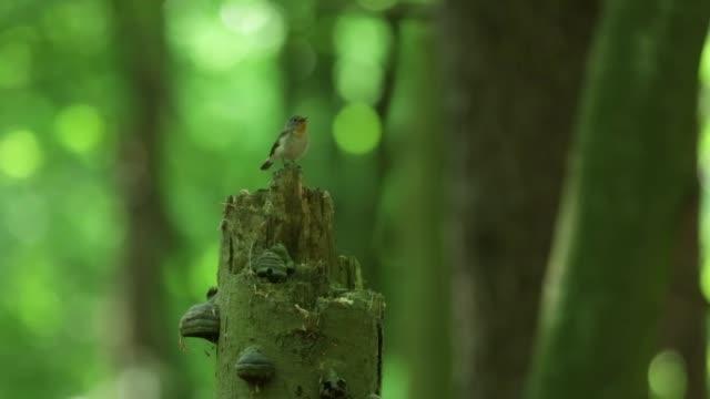wood warbler (phylloscopus sibilatrix) chirps from stump - warbler stock videos & royalty-free footage