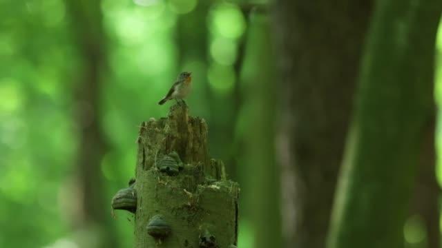 wood warbler (phylloscopus sibilatrix) chirps from stump - birdsong stock videos & royalty-free footage