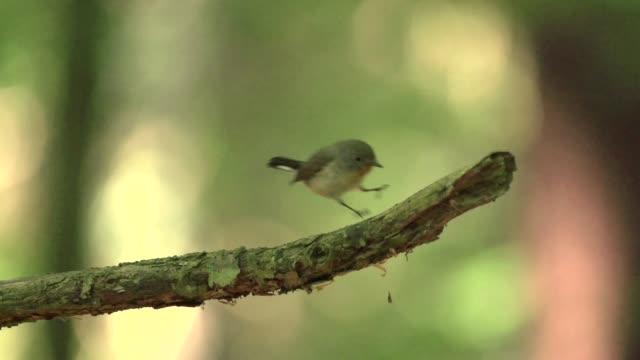 wood warbler (phylloscopus sibilatrix) hops on tree branch - warbler stock videos & royalty-free footage