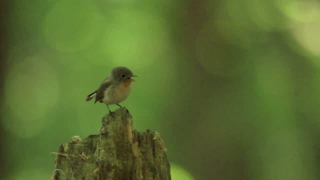wood warbler (phylloscopus sibilatrix) takes flight from stump - warbler stock videos & royalty-free footage