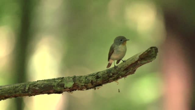 wood warbler (phylloscopus sibilatrix) takes flight - songbird stock videos & royalty-free footage