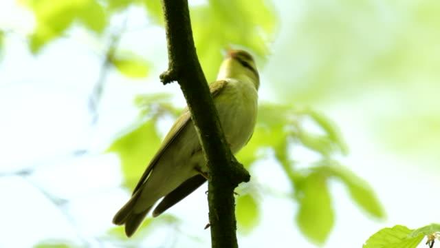 wood warbler - warbler stock videos & royalty-free footage