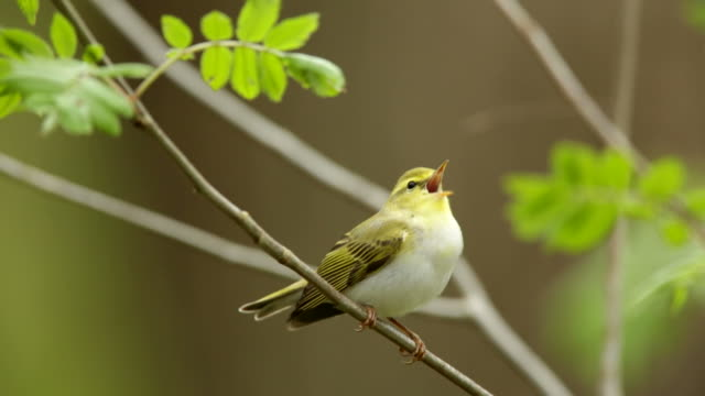 stockvideo's en b-roll-footage met wood warbler (phylloscopus sibilatrix) - zanger