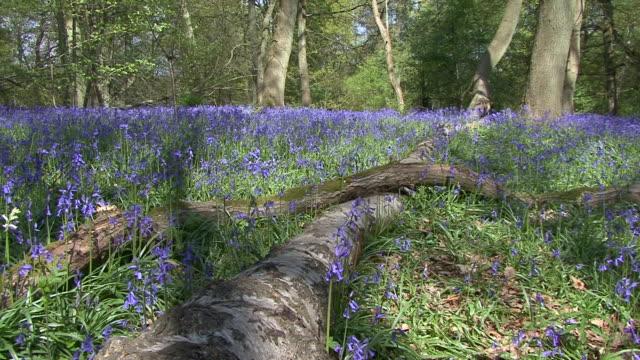 Woodland Bluebells (Hyacinthoides non-scripta)