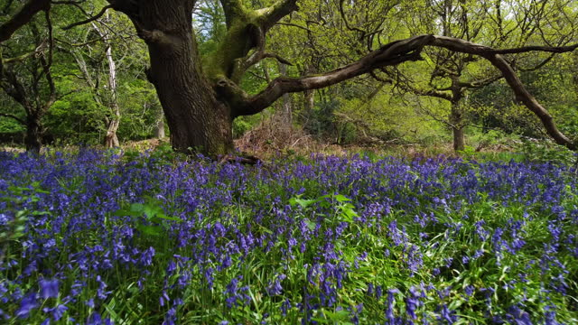 woodland carpeted with bluebells in the spring. drone flight. - uncultivated stock videos & royalty-free footage