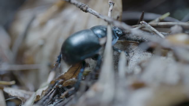 woodland dor beetle (anoplotrupes stercorosus) crawling on forest floor, new forest - insect stock videos & royalty-free footage