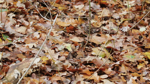 woodland floor covered with autumn leaves - dry stock videos & royalty-free footage