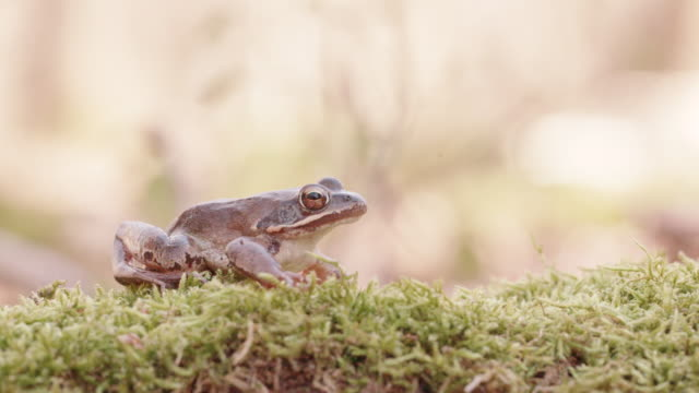 woodland frog sitting idle on moss - zoology stock videos & royalty-free footage
