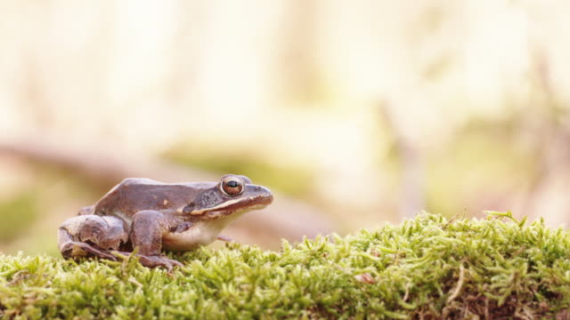 woodland frog sitting idle on moss - moss stock videos & royalty-free footage