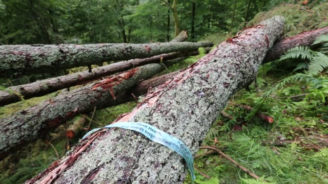 a woodland in grasmere in the lake district uk with larch trees infected by phytophera ramorum a disease that infects oaks and larch trees the larch... - wood material stock videos & royalty-free footage