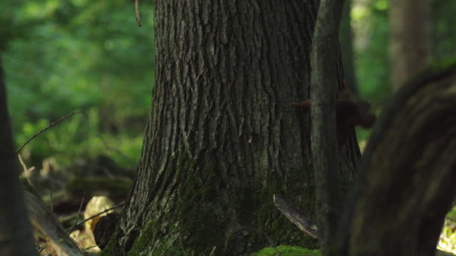 woodland squirrel foraging in the black forest - tree trunk stock videos & royalty-free footage