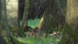 Woodland squirrel foraging in the Black Forest