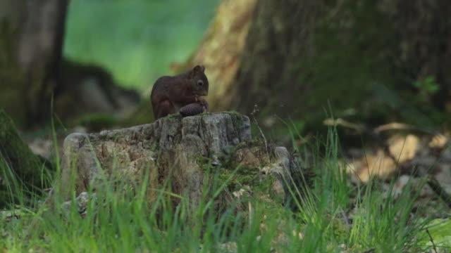 黒い森の中で森林リスを飼育 - シュバルツバルト点の映像素材/bロール