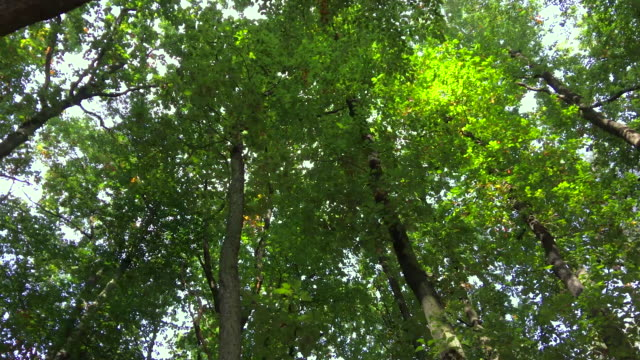 Woodland trees from below