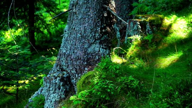 vídeos y material grabado en eventos de stock de bosque de verano piso - pinaceae