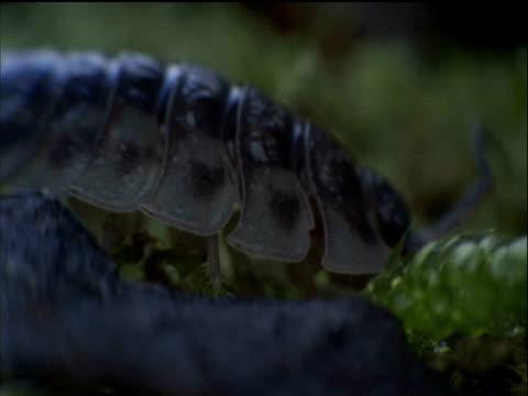 woodlouse amongst moss - animal antenna stock videos & royalty-free footage
