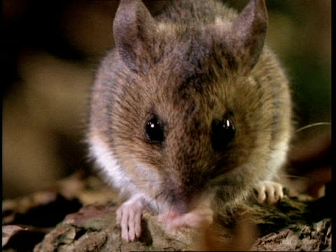 cu woodmouse cleaning, to camera - mouse stock videos & royalty-free footage