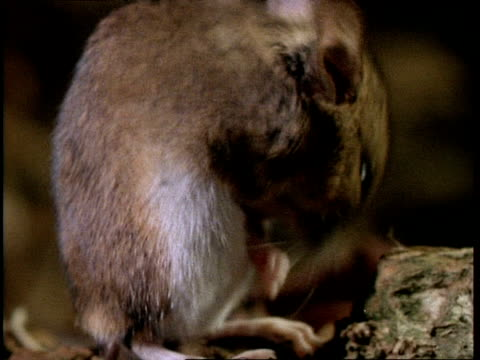 cu woodmouse cleaning - roditore video stock e b–roll