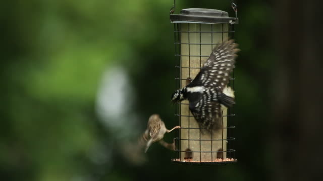 Woodpecker eats from bird feeder