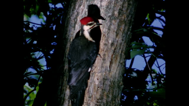 1954 - woodpecker feeds chick in tree trunk - home movie - 1954 bildbanksvideor och videomaterial från bakom kulisserna