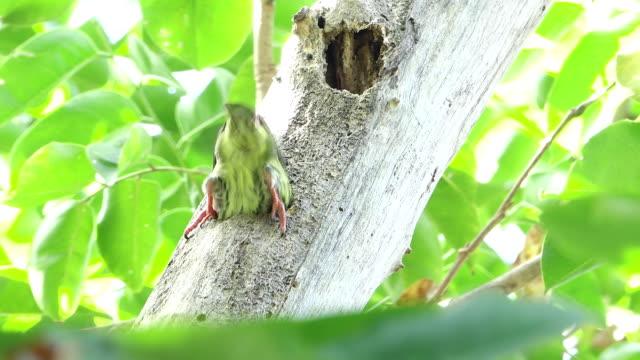 vidéos et rushes de pivert nest - nid