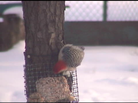 woodpecker - ntsc - small group of animals stock videos & royalty-free footage