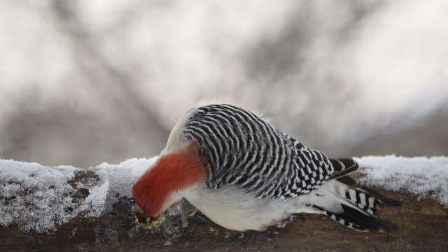vídeos de stock e filmes b-roll de woodpecker on icy feeder - gelo picado