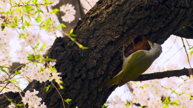 woodpecker pecking on a cherry tree - osservare gli uccelli video stock e b–roll