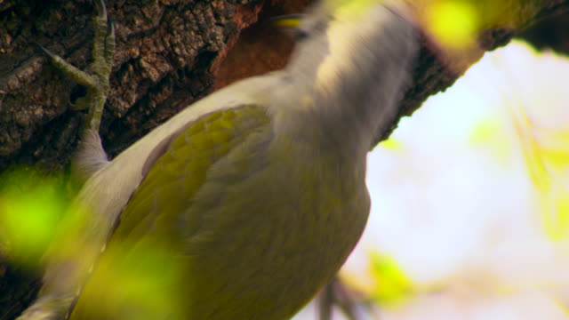 woodpecker pecking on a cherry tree - fruit tree stock videos & royalty-free footage