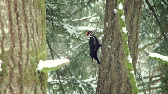 stockvideo's en b-roll-footage met woodpecker pecking on a tree in winter - pikken