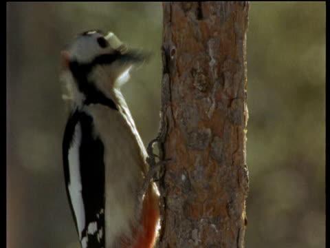 woodpecker pecks on tree trunk, scandinavia - woodpecker stock videos & royalty-free footage