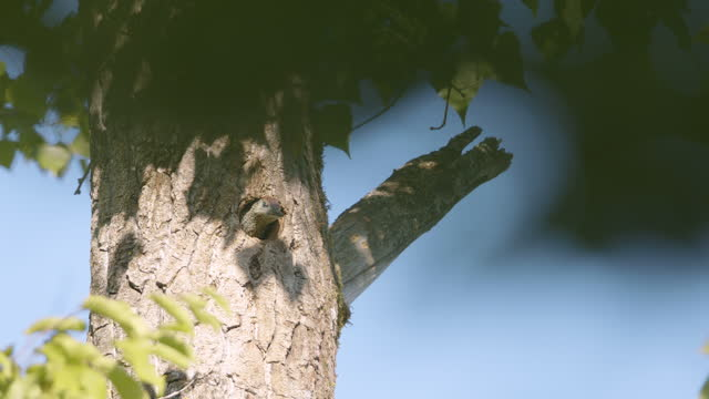 woodpecker peeking out of a hole in a tree - bird's nest stock videos & royalty-free footage