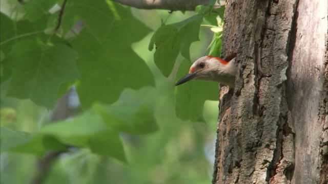 a woodpecker peeks out of its hole, then flies away. - tree trunk stock videos & royalty-free footage