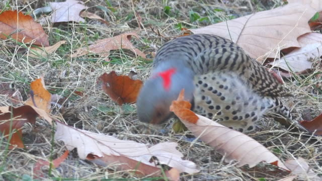 Woodpecker searching prey in the Autumn dirt covered with leaves.