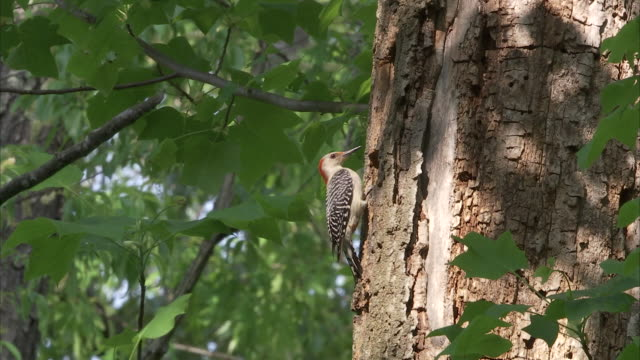 a woodpecker tends to its nest in a tree trunk. - woodpecker stock videos & royalty-free footage