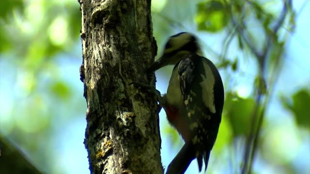 woodpecker - woodpecker stock videos & royalty-free footage