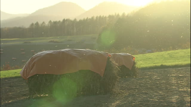 woolly aphids swarm over hay bales. - hay bale stock videos and b-roll footage
